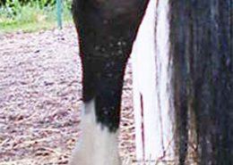 Phlegmone Pferd - nachher